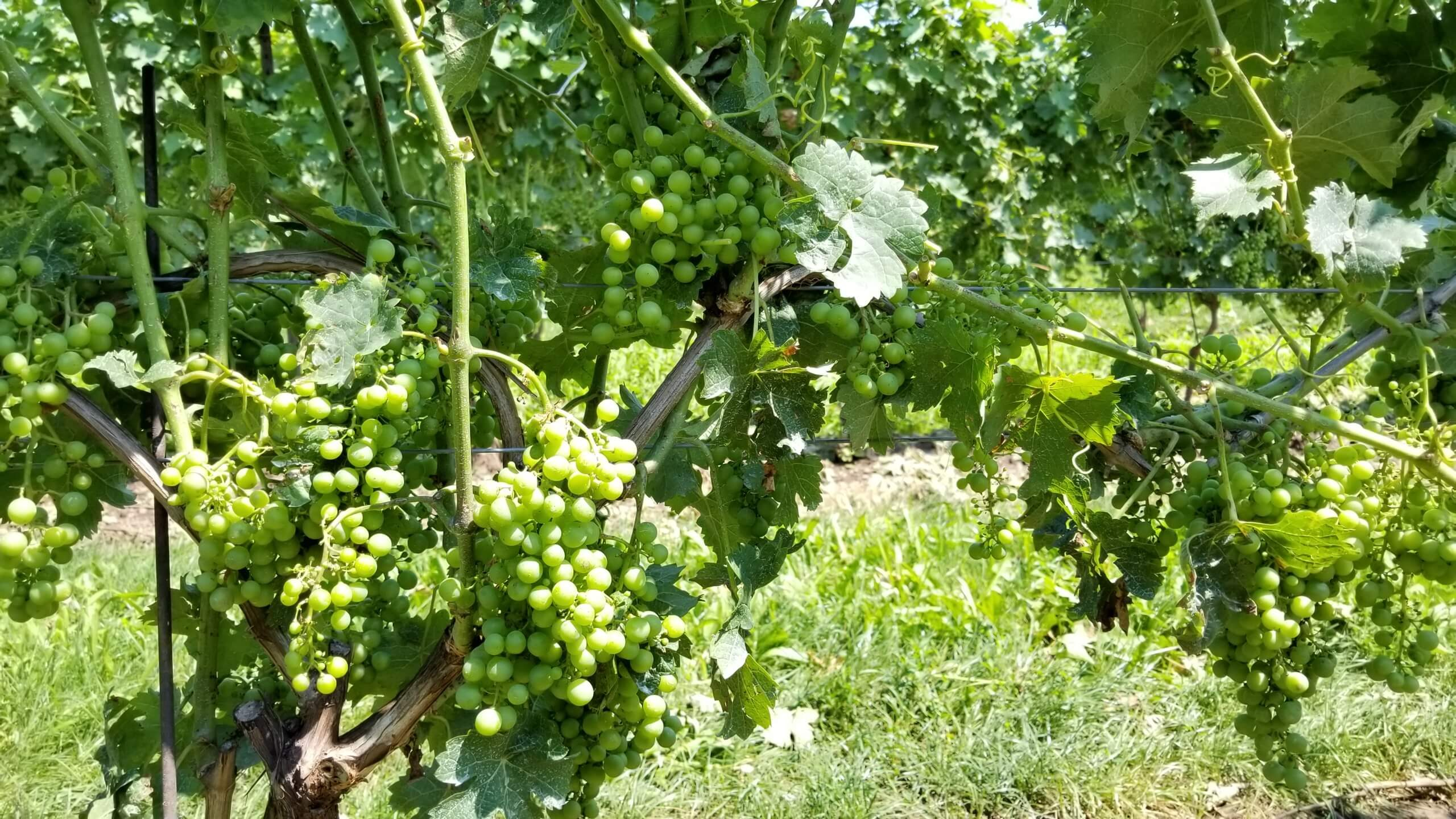 Green Wine Grapes on Vine