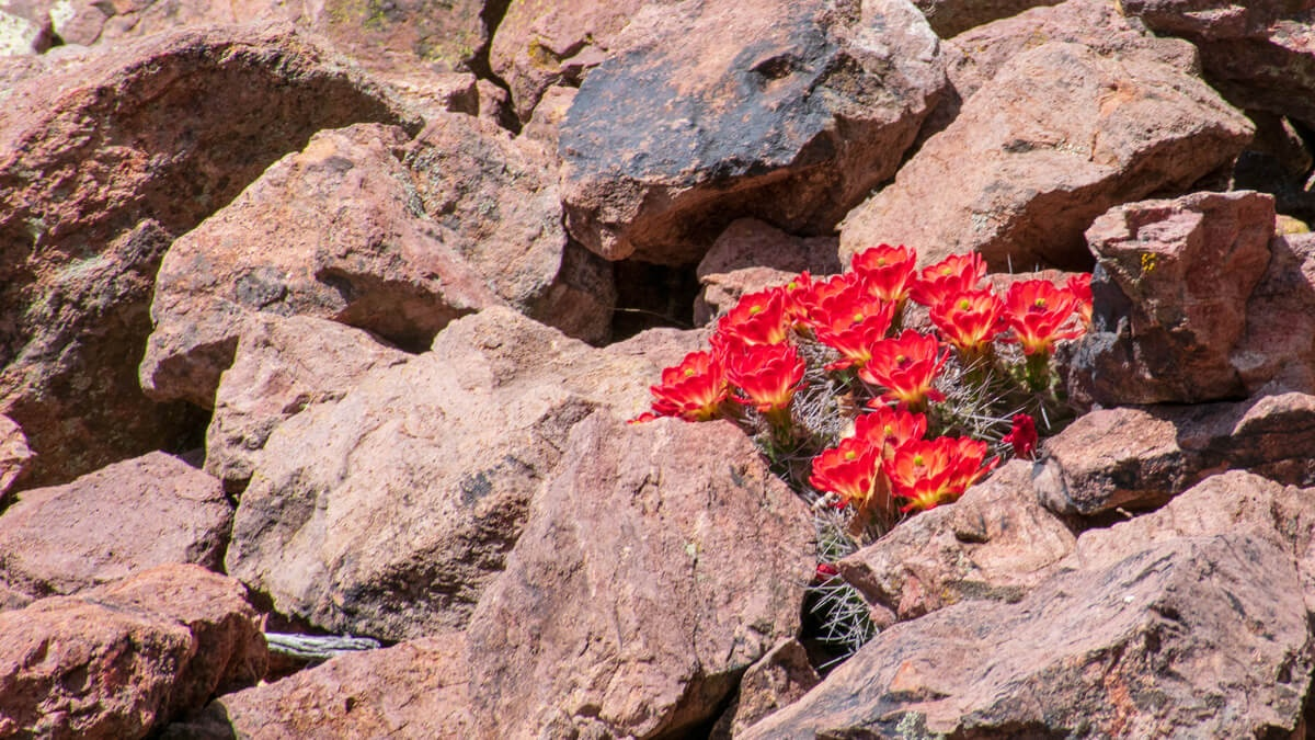 Red Cactus Blossoms in desert rocks