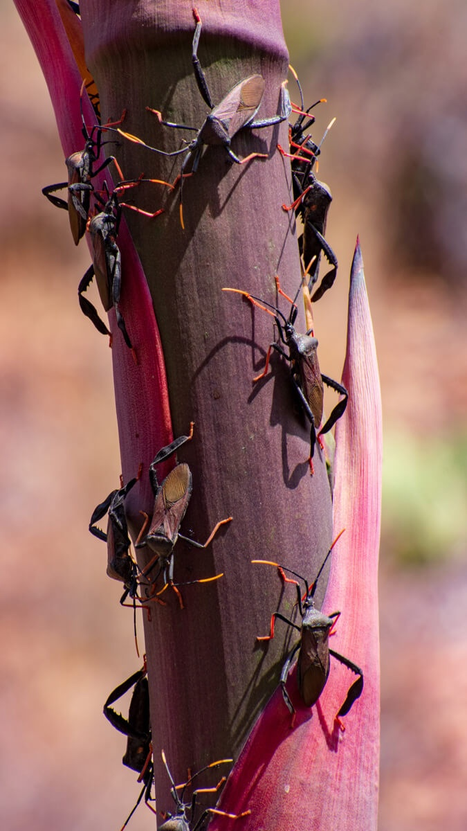 Stink bugs on purple century plant stalk Big Bend National Park