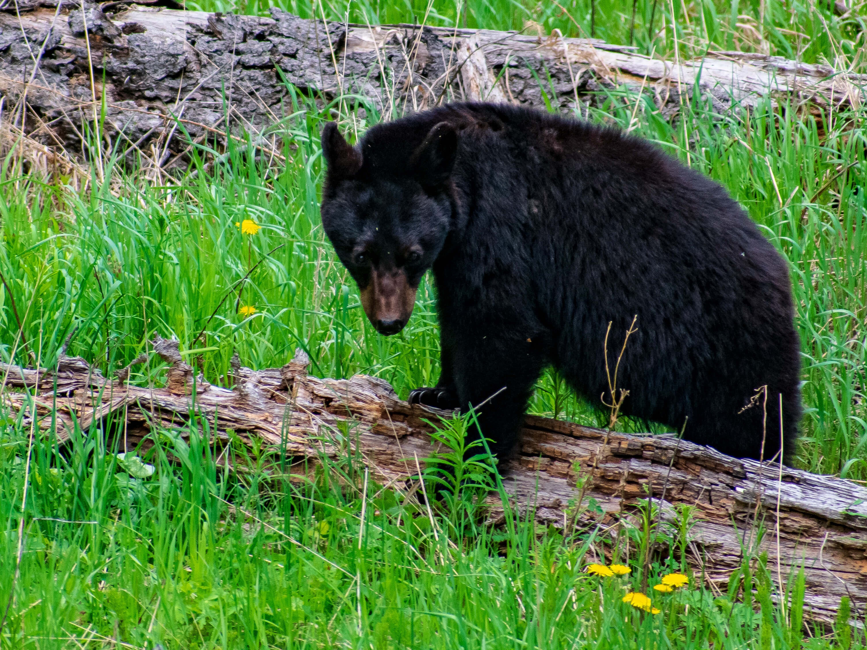 Black Bear walking on log Yellowstone