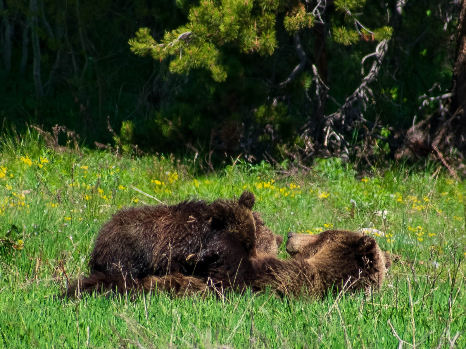 Grizzly bear cubs nursing