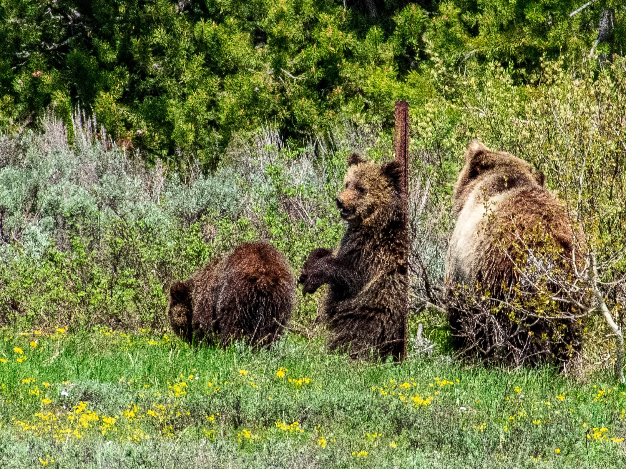 Grizzly cub scratching back Grand Teton