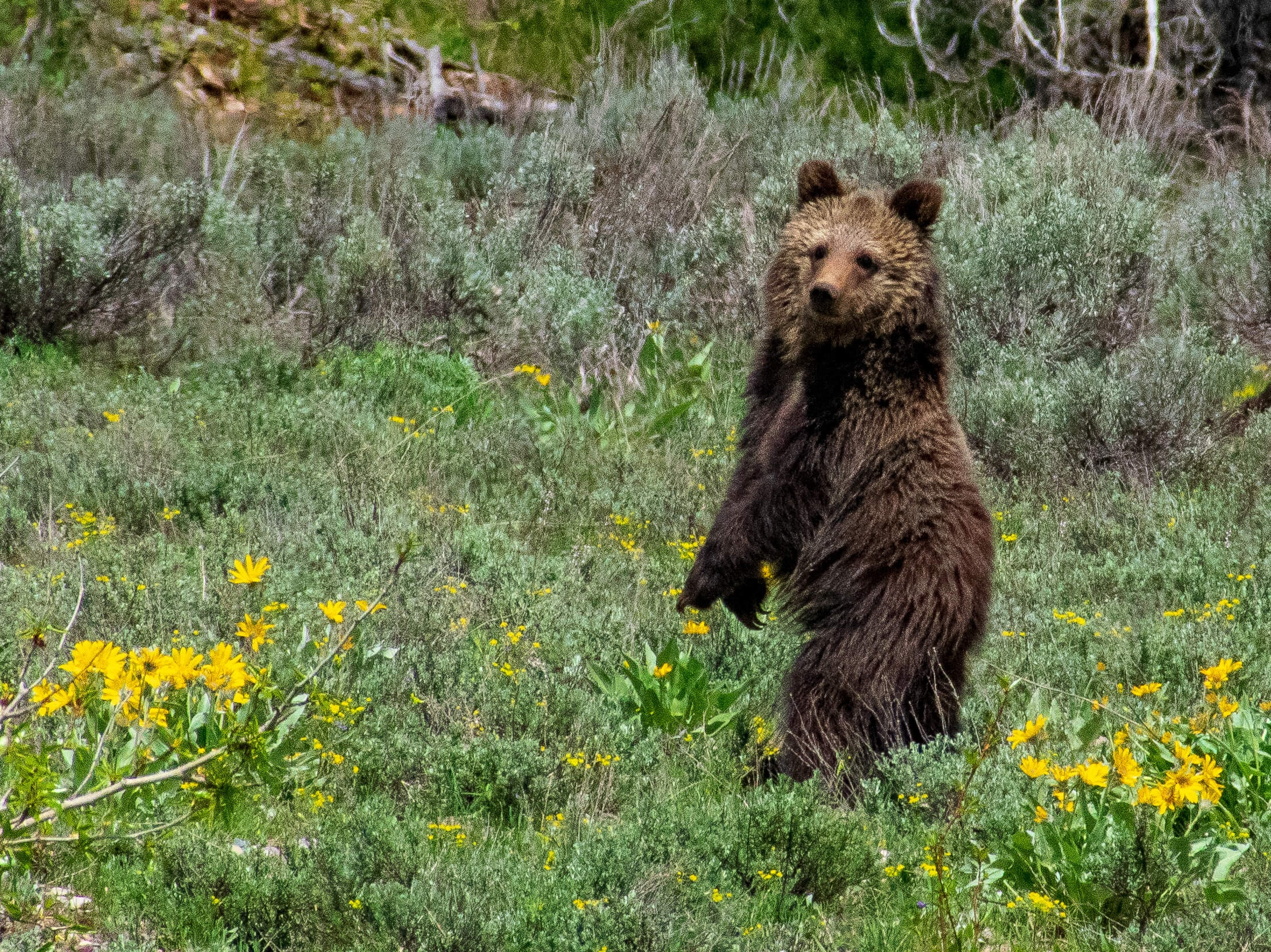 Grizzly cub standing on back legs